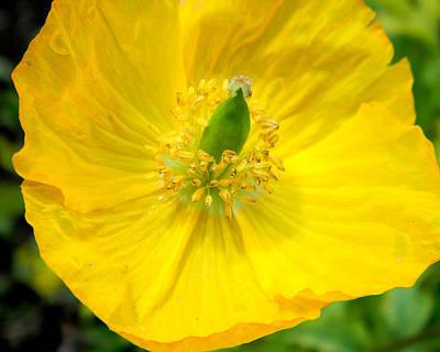 Photograph - Yellow Poppy In Bloom by Mark J Seefeldt