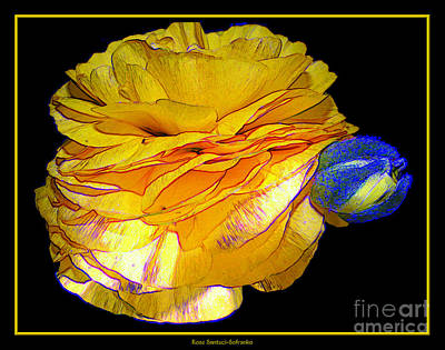 Botanical Gardens Photograph - Yellow Ranunculus Flower With Blue Colored Edges Effect by Rose Santuci-Sofranko