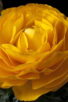 Ranunculus Flower Photograph - Yellow Ranunculus by Garry Gay