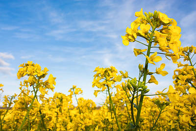 Photograph - Yellow Rapeseed Canola by Semmick Photo