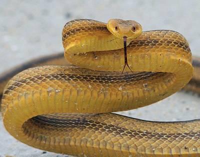 Photograph - Yellow Rat Snake by Ira Runyan
