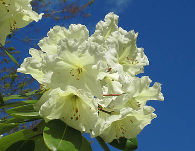 Photograph - Yellow Rhododendron by Marilyn Wilson