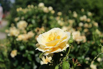 Rose Photograph - Yellow Rose by Ankita Ghosh