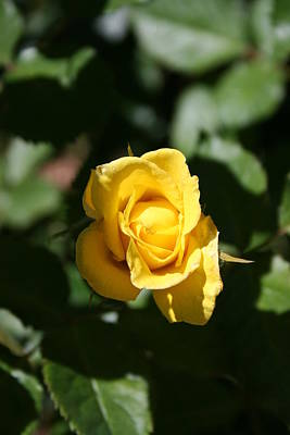 James Johnson Photograph - Yellow Rose Bud by James Johnson