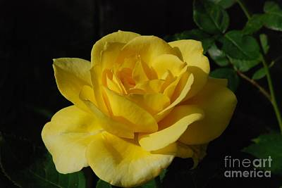 Photograph - Yellow Rose Close Up by Mark McReynolds
