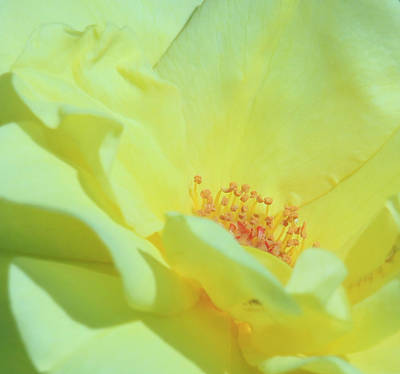 Photograph - Yellow Rose by Donna Corless