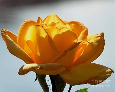 Photograph - Yellow Rose by John Black