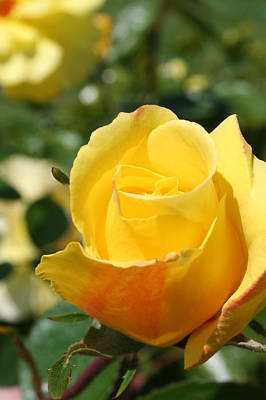 Photograph - Yellow Rose by Lisa Stanley