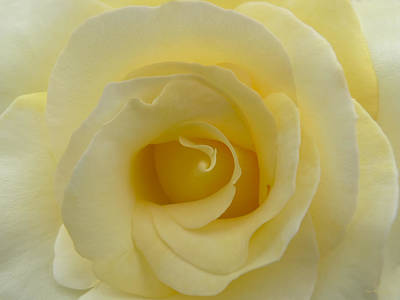 Photograph - Yellow Rose Macro by Jennie Marie Schell