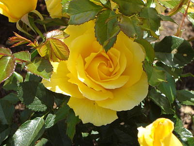 Yellow Rose Of California Art Print by James Hammen
