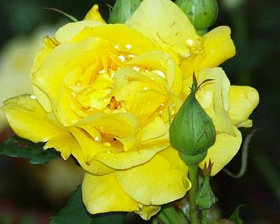 Photograph - Yellow Rose Of Poland by Tammy Bullard