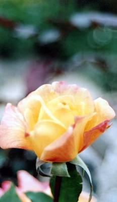 Photograph - Yellow Rose Of Texas by Lynnette Johns