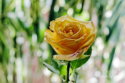 Floral Photograph - Yellow Rose by Pravine Chester