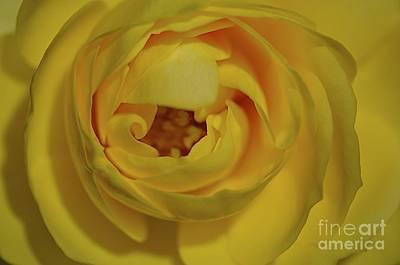 Photograph - Yellow Rose by Sherry Davis