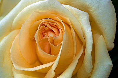 Photograph - Yellow Rose by Tikvah's Hope