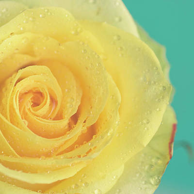 Yellow Rose With Dew Drops Art Print by Maria Kallin
