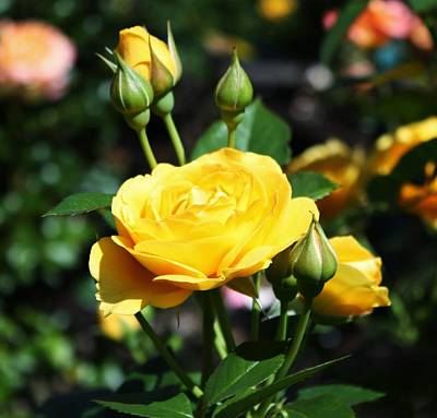 Yellow Rosebud Photograph - Yellow Rosebuds by Cathie Tyler