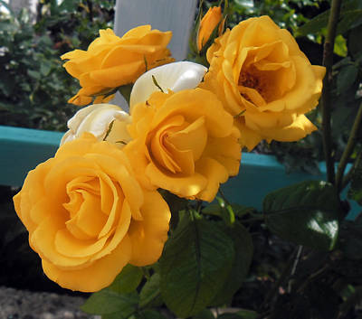 Photograph - Yellow Roses by Melinda Kortun