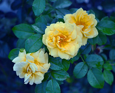 Print featuring the photograph Yellow Roses by Rodney Campbell