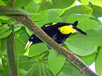 Photograph - Yellow Rumped Cacique by Eve Spring