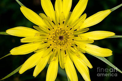 Salsify Wall Art - Photograph - Yellow Salsify Wildflower by Terry Elniski