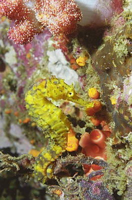 Yellow Seahorse Art Print by Peter Scoones
