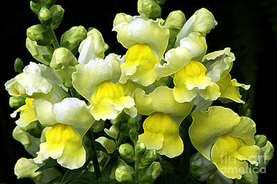 Photograph - Yellow Snapdragons Enhanced by Sharon Talson