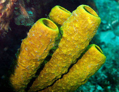 Photograph - Yellow Sponges by Jean Noren