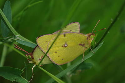 Photograph - Yellow Sulfur Butterflies by Robyn Stacey