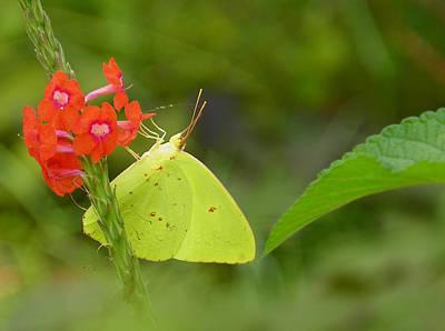 Yellow Sulfur Butterfly Art Print by Judy Wanamaker