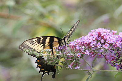 Photograph - Yellow Swallowtail And Purple Butterfly Bush by Lawrence Scott