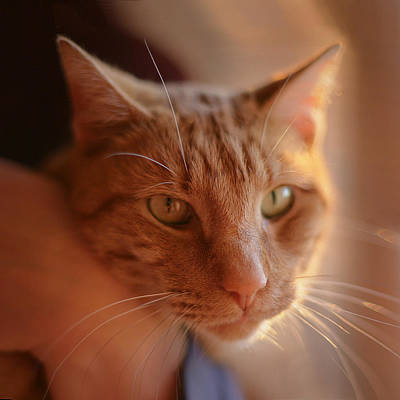 Photograph - Yellow Tabby by Mark Greenberg