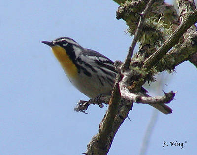 Art Print featuring the photograph Yellow-throated Warbler by Roena King