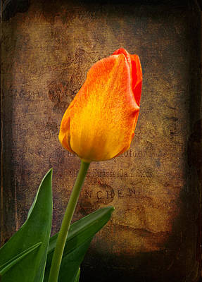 Photograph - Yellow Tulip by Fred LeBlanc