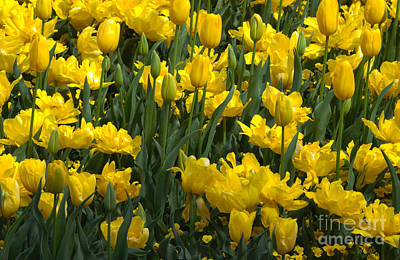 Photograph - Yellow Tulips 1 by Fran Woods
