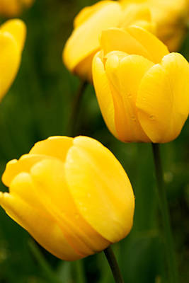 Lale Photograph - Yellow Tulips by Onder Konuralp