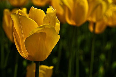 Photograph - Yellow Tulips by  Onyonet  Photo Studios
