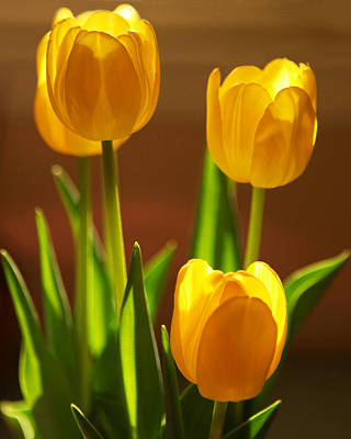 Photograph - Yellow Tulips by Sheila Kay McIntyre