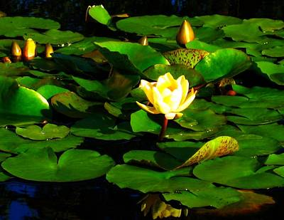 Photograph - Yellow Water Lily by Sherry Oliver