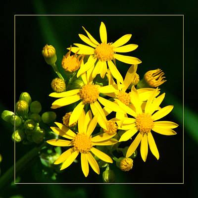 Photograph - Yellow Wild Flower by Robert Clayton