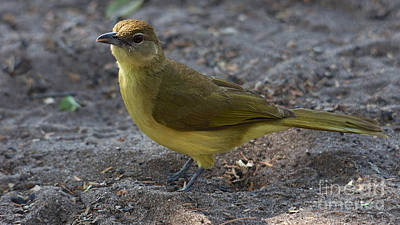 Photograph - Yellowbellied Bulbul by Mareko Marciniak