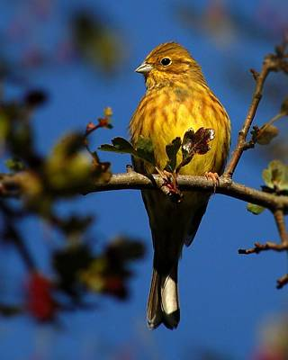 Yellowhammer Art Print