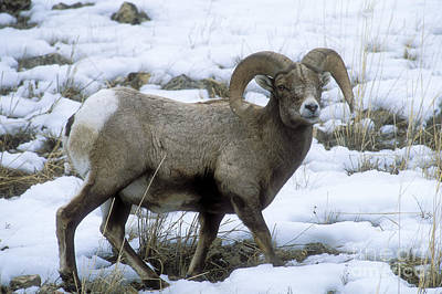 Photograph - Yellowstone Big Horn Sheep by Sandra Bronstein