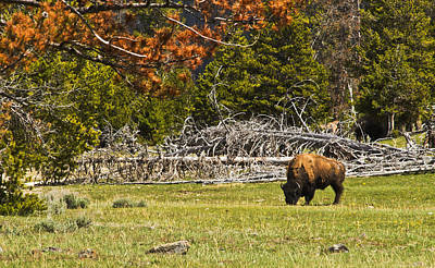 Bison Digital Art - Yellowstone Bison by Terry Hollensworth-Rutledge