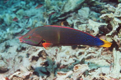 Clown Fish Photograph - Yellowtail Coris by Georgette Douwma