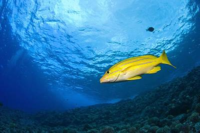 Yellowtail Snapper, Molokini Crater Art Print