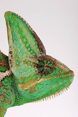 Yemen Chameleon, Close-up Of Head, Side View Art Print