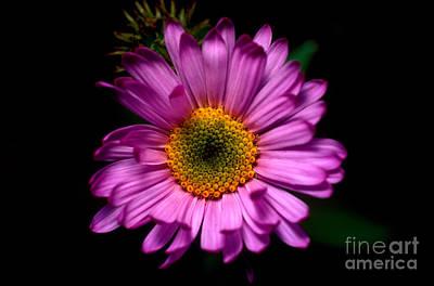 Photograph - Yoho - Subalpine Fleabane Wildflower  by Terry Elniski