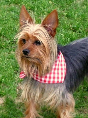 Pointy Ears Photograph - Yorkie by Cindy Wright