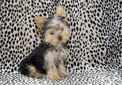 Photograph - Yorkie Puppy by Cheryl Davis